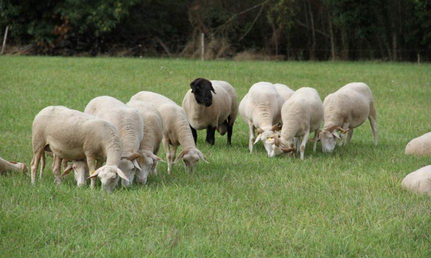 Des races de moutonssélectionnées