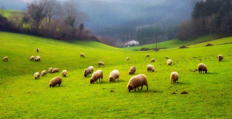 moutons tarn