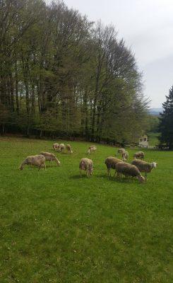 Les moutons de race Lacaune fournissent une laine de qualité